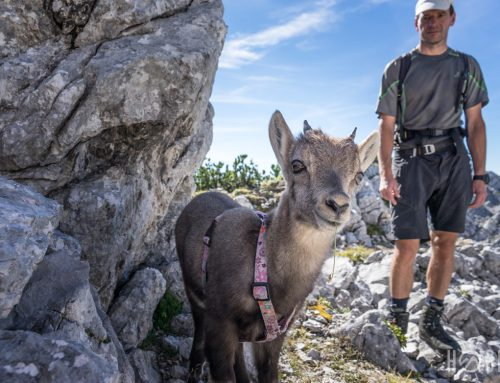 Mit dem Steinbock-Baby auf den Zwölferkogel