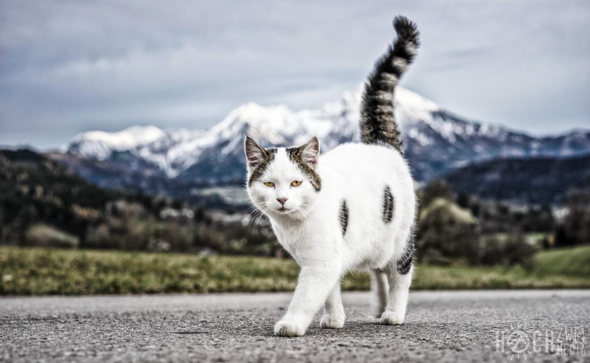 Katze schleicht vor Großem Pyhrgas